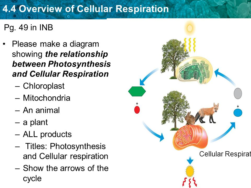 44 intro to cellular respiration ppt video online download 32 titles photosynthesis and cellular respiration pg 49 in inb please make a diagram showing the relationship between ccuart Gallery