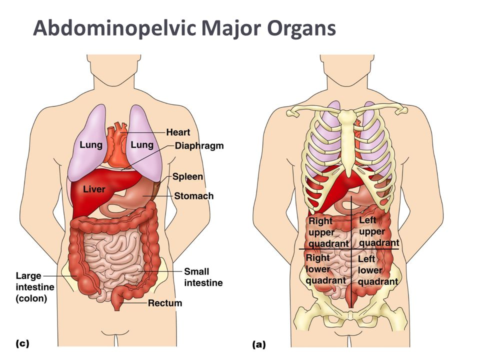 Organ Definition Anatomy 9177183 Follow4morefo