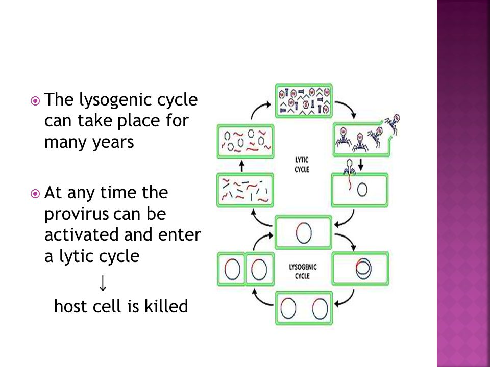  The lysogenic cycle can take place for many years  At any time the provirus can be activated and enter a lytic cycle ↓ host cell is killed