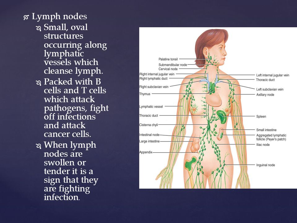   Lymph nodes   Small, oval structures occurring along lymphatic vessels which cleanse lymph.