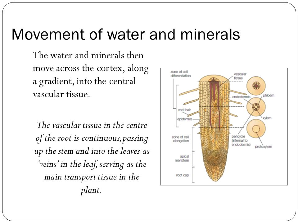 Movement of water and minerals The water and minerals then move across the cortex, along a gradient, into the central vascular tissue.