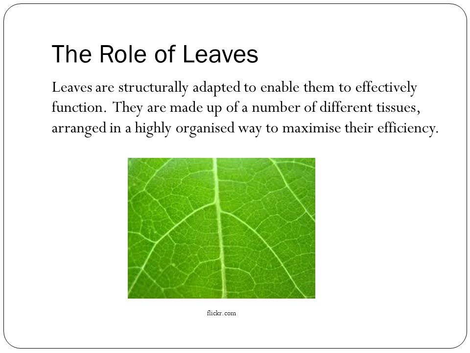 The Role of Leaves Leaves are structurally adapted to enable them to effectively function.
