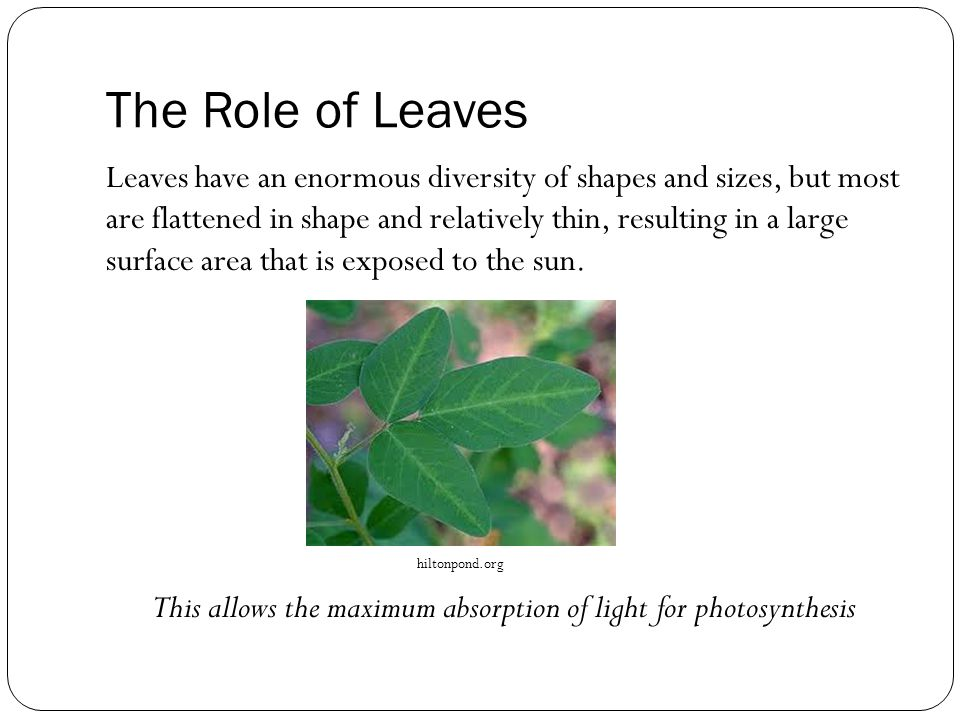 The Role of Leaves Leaves have an enormous diversity of shapes and sizes, but most are flattened in shape and relatively thin, resulting in a large surface area that is exposed to the sun.