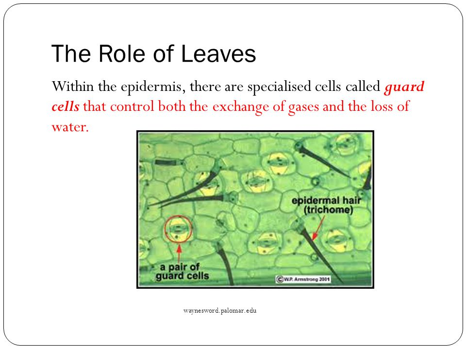 The Role of Leaves Within the epidermis, there are specialised cells called guard cells that control both the exchange of gases and the loss of water.