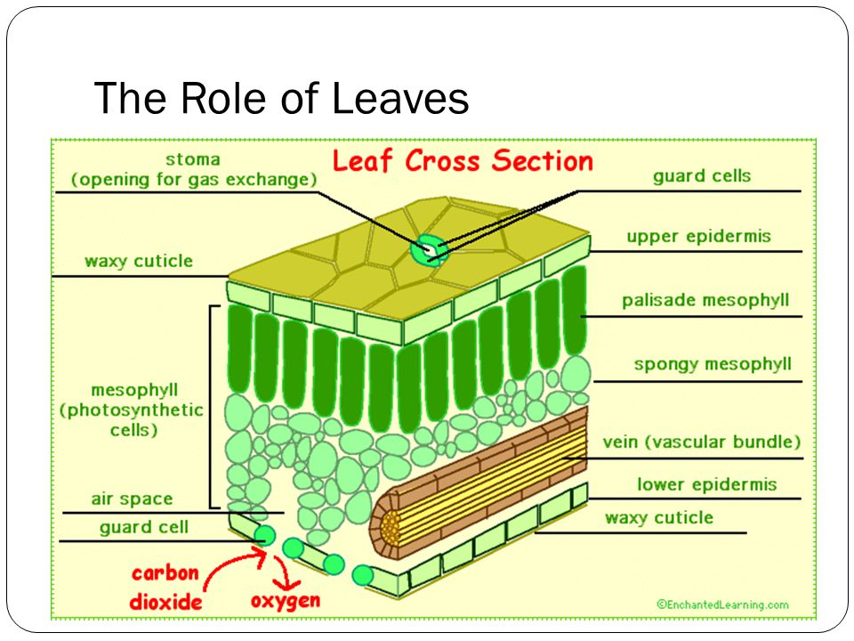 The Role of Leaves