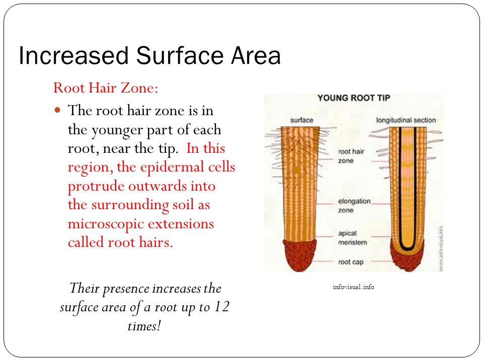 Increased Surface Area Root Hair Zone: The root hair zone is in the younger part of each root, near the tip.