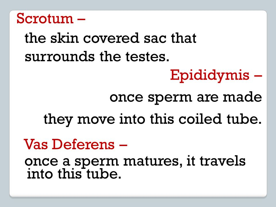 Scrotum – the skin covered sac that surrounds the testes. Epididymis – once sperm are made they move into this coiled tube. Vas Deferens – once a sper