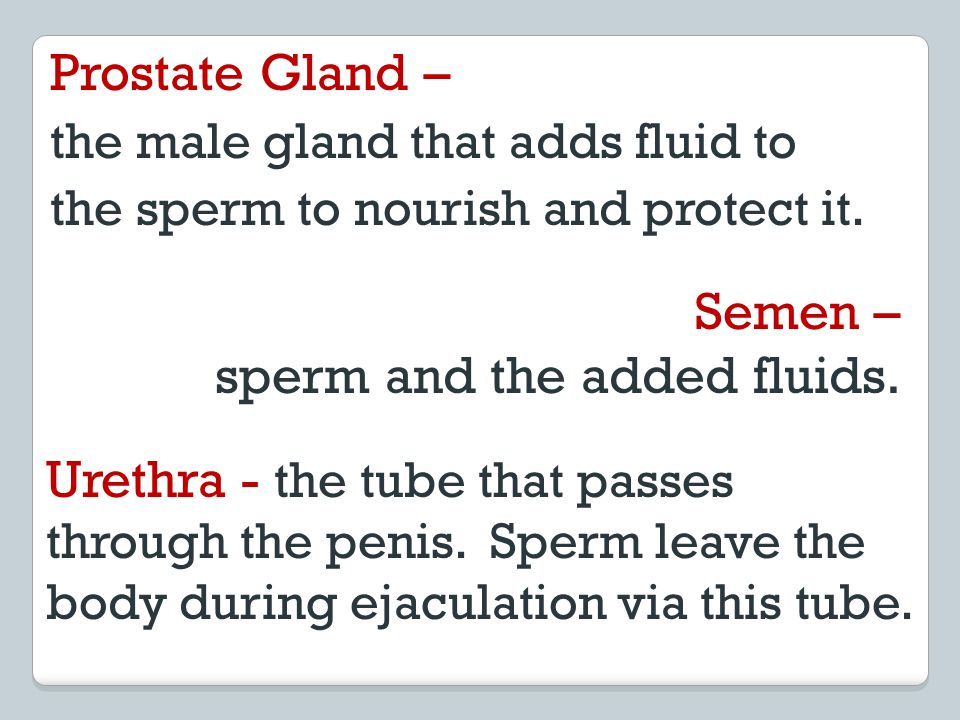 Semen – sperm and the added fluids. Urethra - the tube that passes through the penis. Sperm leave the body during ejaculation via this tube. Prostate