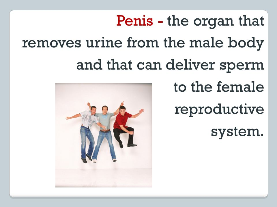 Penis - the organ that removes urine from the male body and that can deliver sperm to the female reproductive system.