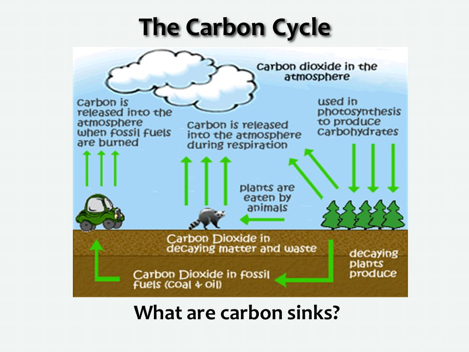 The Carbon Cycle What are carbon sinks