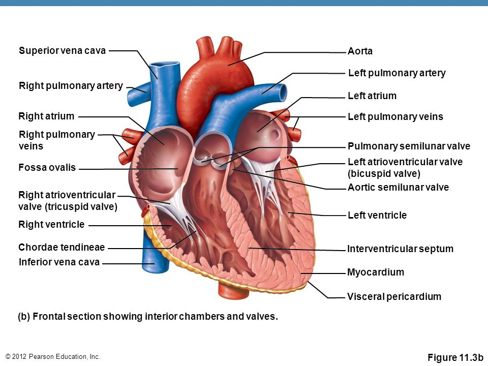 Awesome All Parts Of The Heart Ornament - Anatomy And Physiology ...