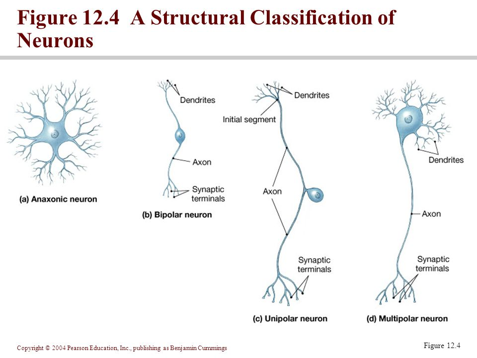Copyright © 2004 Pearson Education, Inc., publishing as Benjamin Cummings Figure 12.4 Figure 12.4 A Structural Classification of Neurons