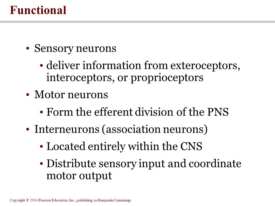 Copyright © 2004 Pearson Education, Inc., publishing as Benjamin Cummings Sensory neurons deliver information from exteroceptors, interoceptors, or proprioceptors Motor neurons Form the efferent division of the PNS Interneurons (association neurons) Located entirely within the CNS Distribute sensory input and coordinate motor output Functional