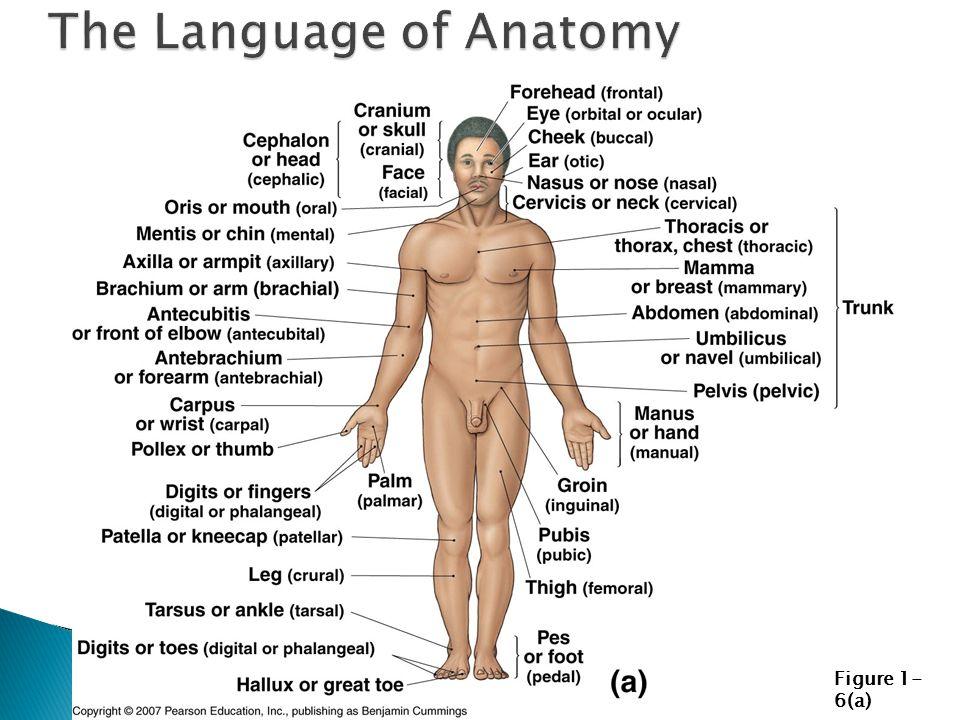 Ziemlich Digitale Menschliche Anatomie Bilder - Anatomie Von ...