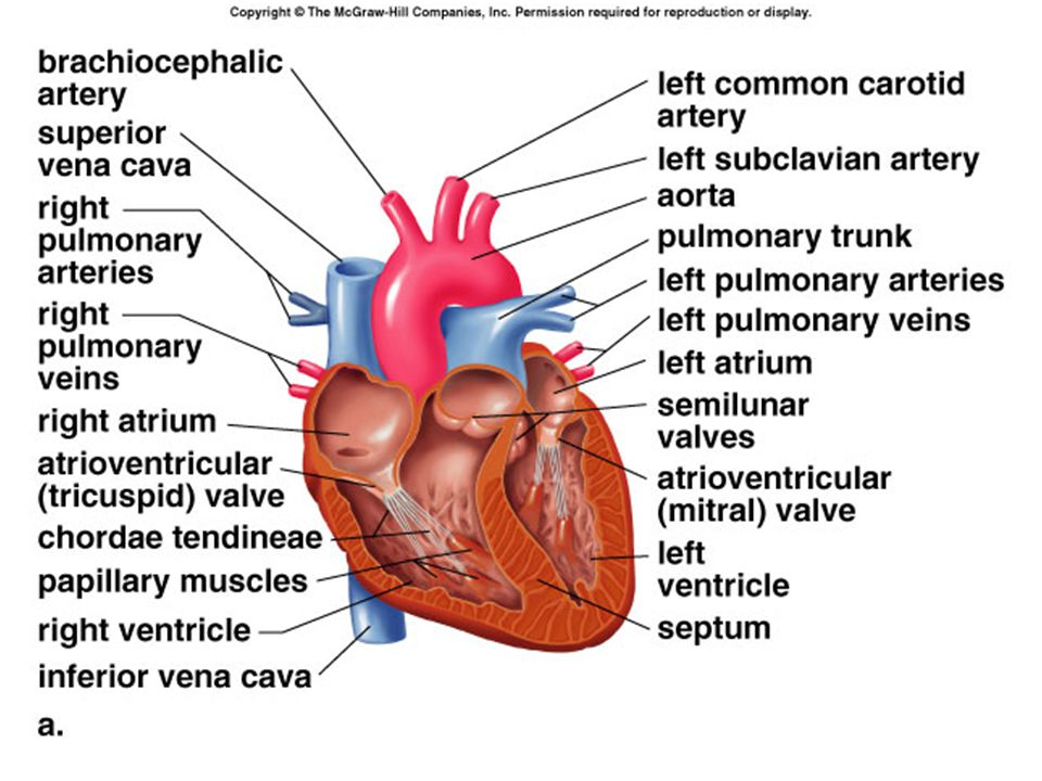 Cardiovascular system blood vessels heart and blood ppt download 20 heart valves one way valves keep blood moving in one direction as valves close one hears the characteristic lub dupp sound of the heart beating valves ccuart Image collections