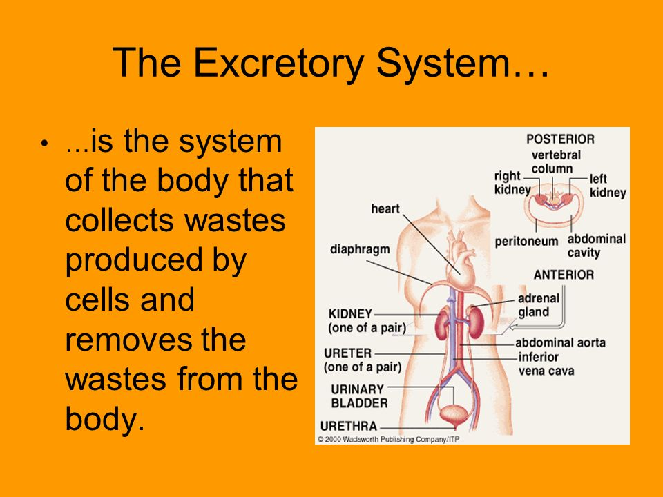 The Excretory System… … is the system of the body that collects wastes produced by cells and removes the wastes from the body.