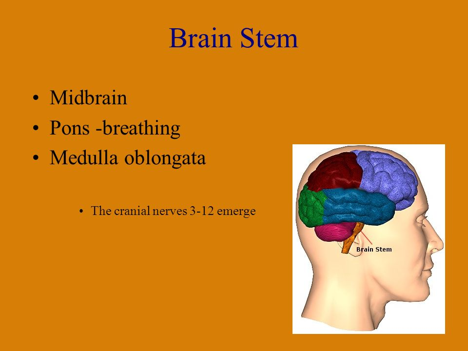 Brain Stem Midbrain Pons -breathing Medulla oblongata The cranial nerves 3-12 emerge