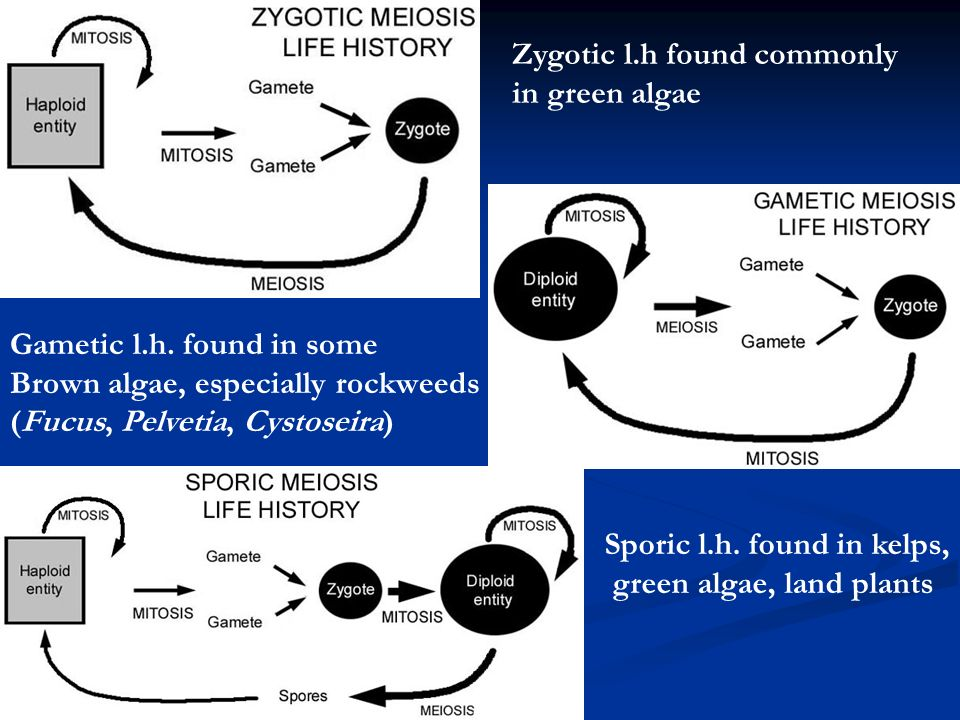 Zygotic l.h found commonly in green algae Gametic l.h.