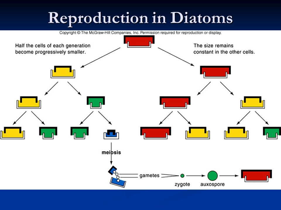 Reproduction in Diatoms