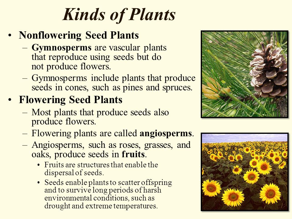 Kinds of Plants Nonflowering Seed Plants –Gymnosperms are vascular plants that reproduce using seeds but do not produce flowers.