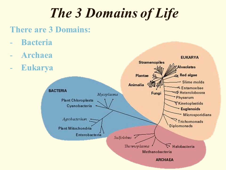 The 3 Domains of Life There are 3 Domains: -Bacteria -Archaea -Eukarya