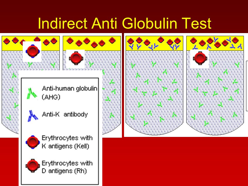 Indirect Anti Globulin Test