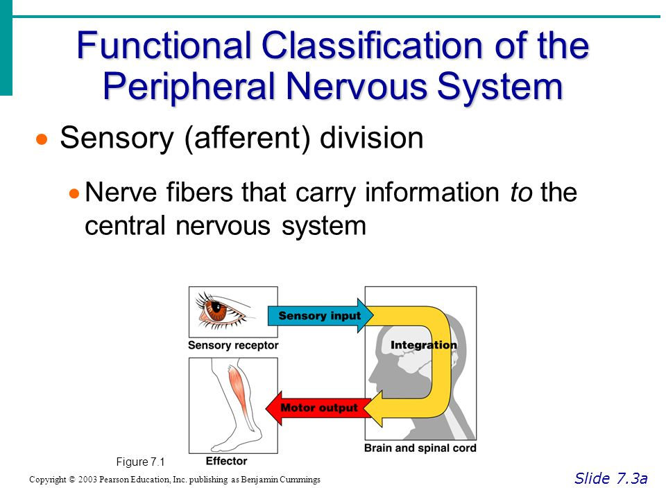 Functional Classification of the Peripheral Nervous System Slide 7.3a Copyright © 2003 Pearson Education, Inc.