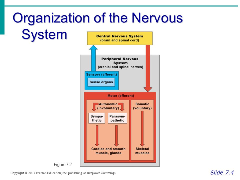 Organization of the Nervous System Slide 7.4 Copyright © 2003 Pearson Education, Inc.