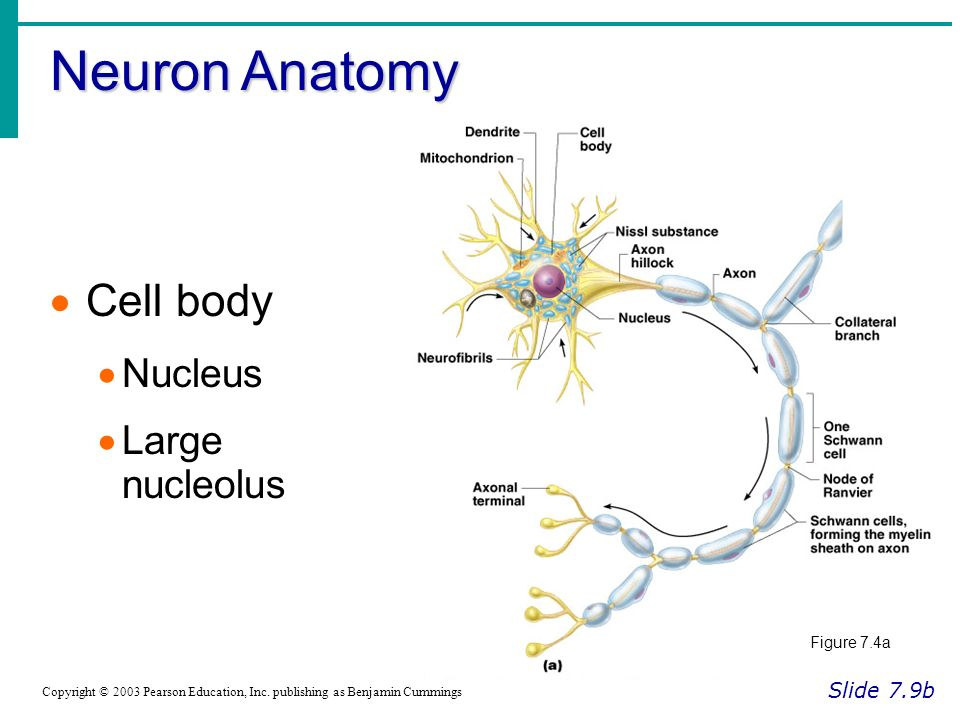 Neuron Anatomy Slide 7.9b Copyright © 2003 Pearson Education, Inc.