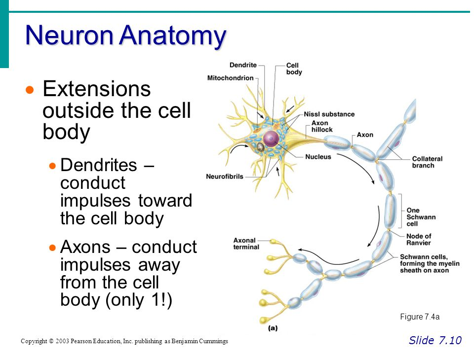 Neuron Anatomy Slide 7.10 Copyright © 2003 Pearson Education, Inc.
