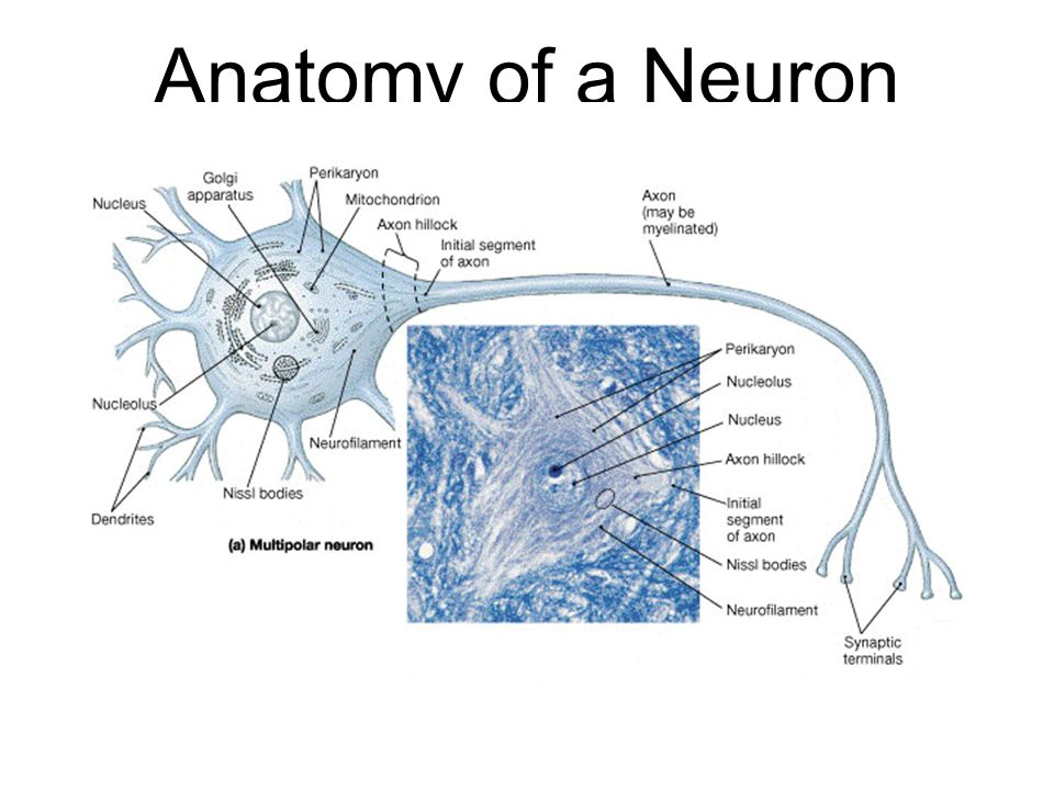 Anatomy of a Neuron