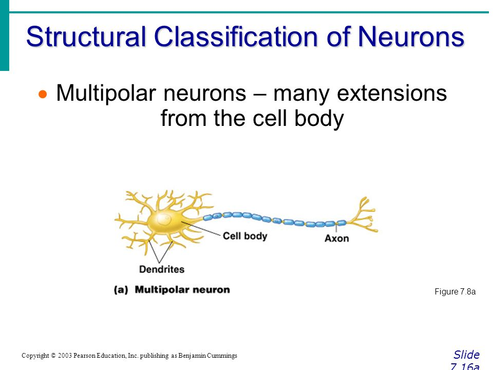 Structural Classification of Neurons Slide 7.16a Copyright © 2003 Pearson Education, Inc.