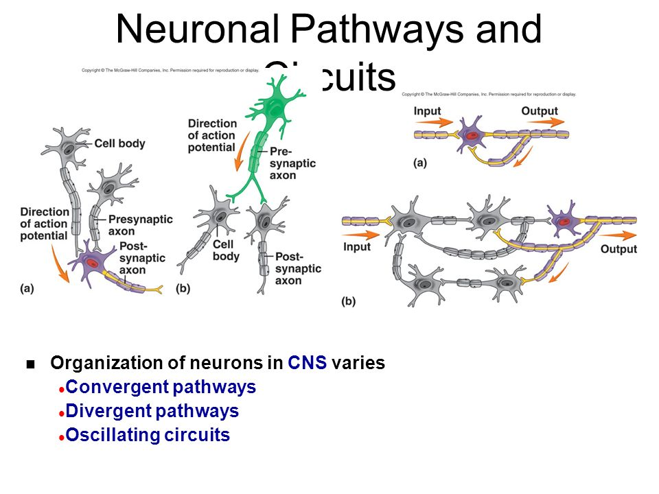 Neuronal Pathways and Circuits n Organization of neurons in CNS varies l Convergent pathways l Divergent pathways l Oscillating circuits