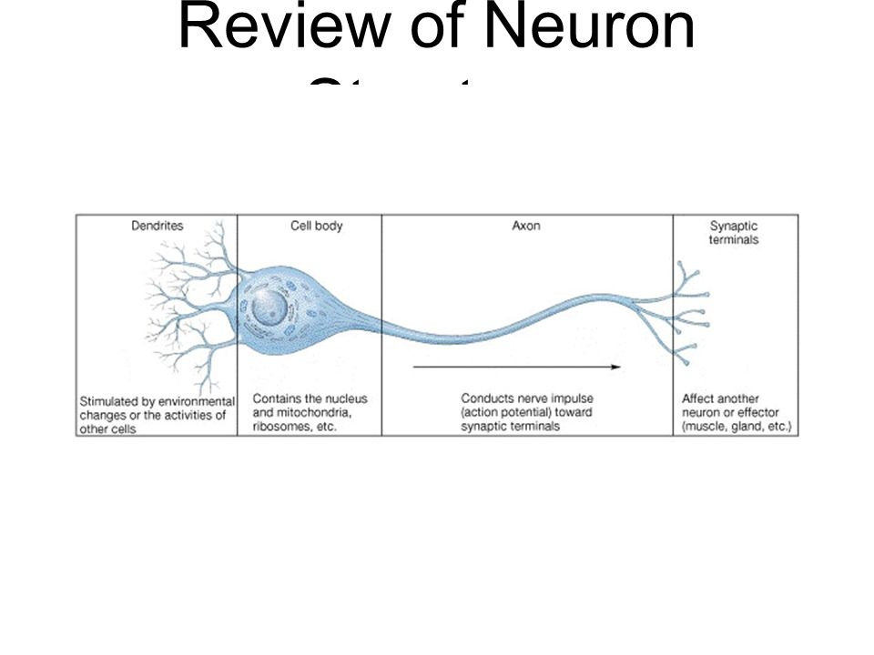 Review of Neuron Structure
