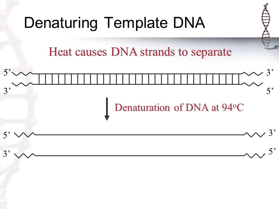 Denaturing Template DNA Heat causes DNA strands to separate 3' 5' 3' Denaturation of DNA at 94 o C 5' 3' 5'