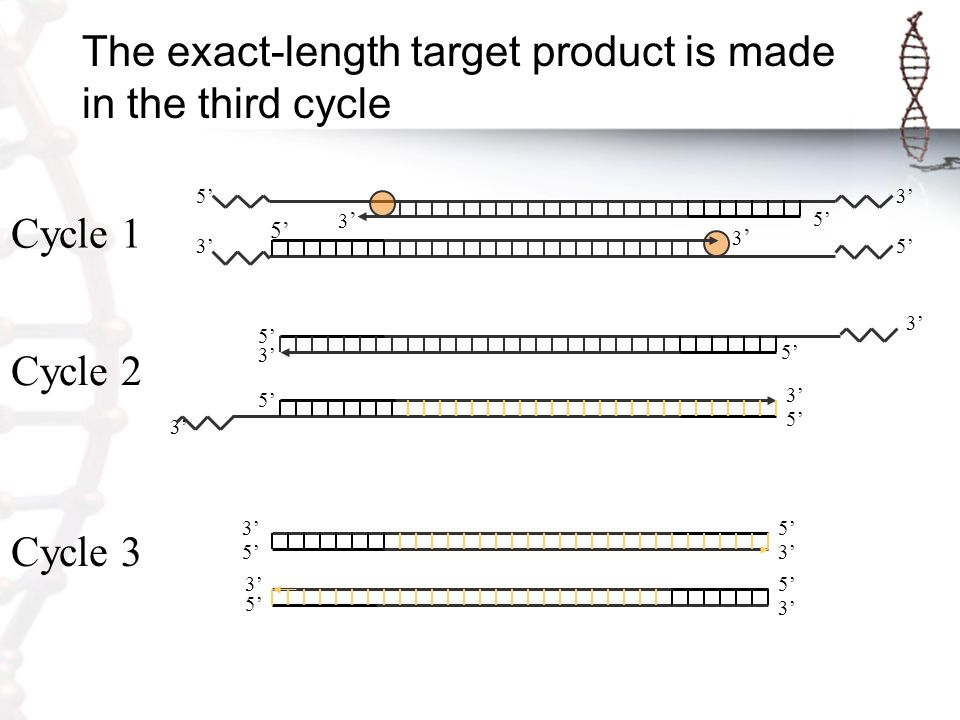 The exact-length target product is made in the third cycle 3' 5' 3'3' 3'3' 3' 5' 3' 5' 3' 5' 3' Cycle 1 Cycle 2 Cycle 3 3' 5'