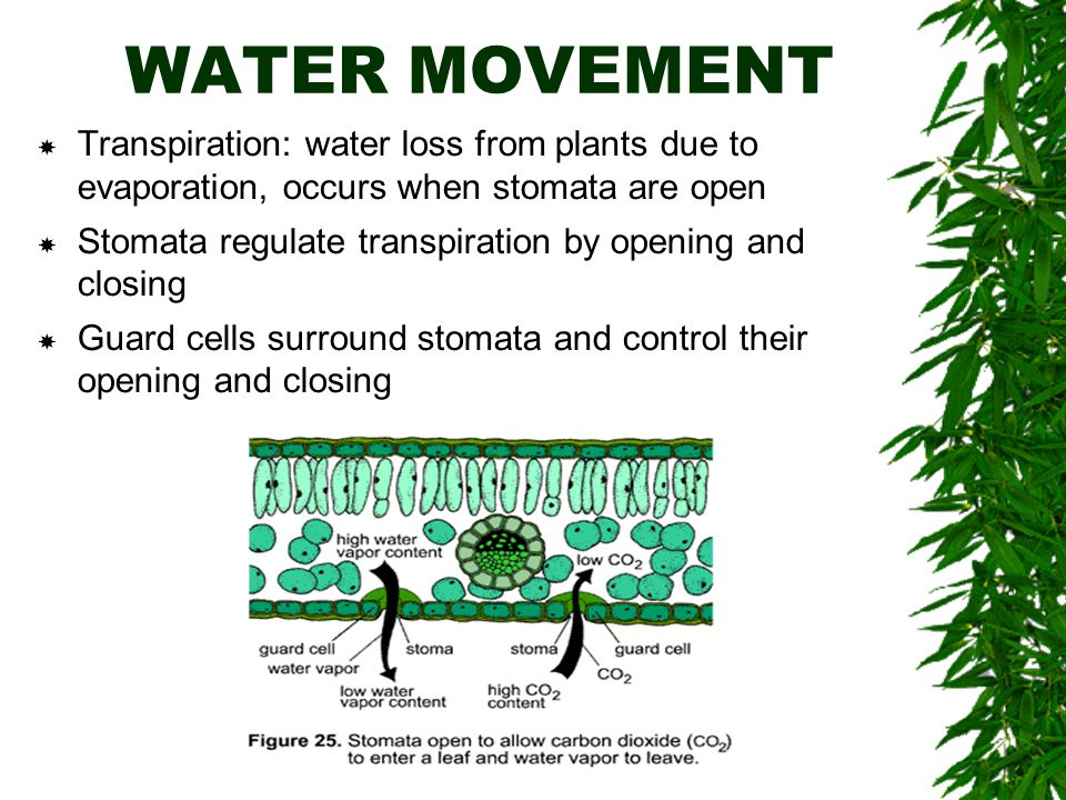 WATER MOVEMENT  Transpiration: water loss from plants due to evaporation, occurs when stomata are open  Stomata regulate transpiration by opening and closing  Guard cells surround stomata and control their opening and closing