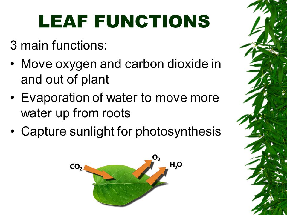 LEAF FUNCTIONS 3 main functions: Move oxygen and carbon dioxide in and out of plant Evaporation of water to move more water up from roots Capture sunlight for photosynthesis