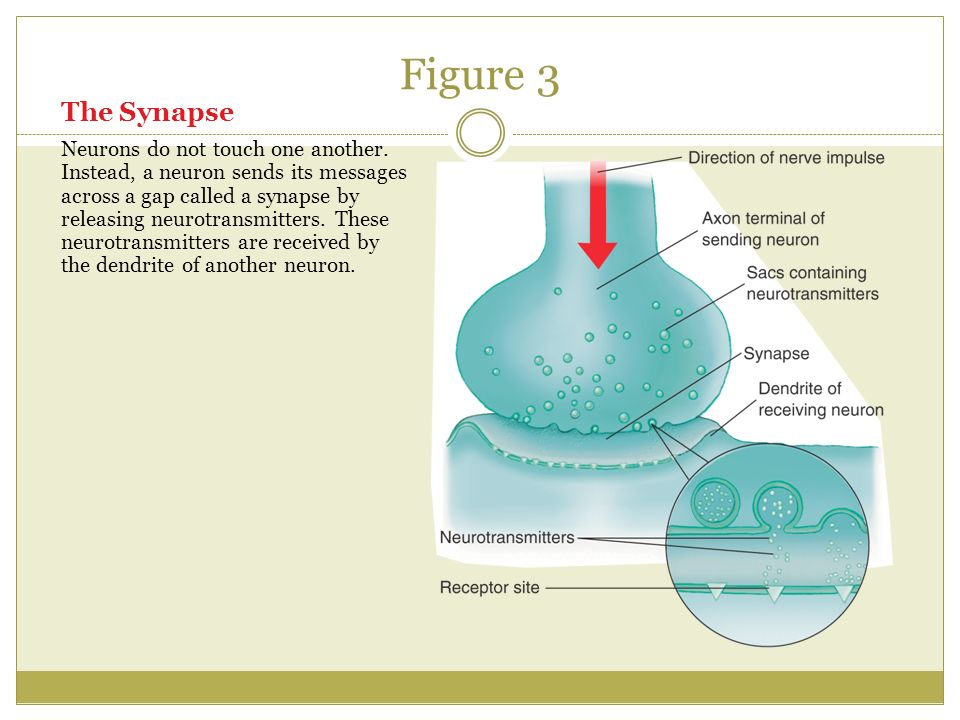 Figure 3 The Synapse Neurons do not touch one another.