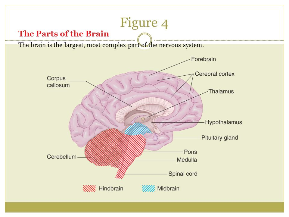 Figure 4 The Parts of the Brain The brain is the largest, most complex part of the nervous system.