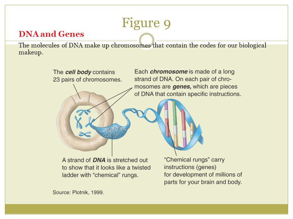 Figure 9 DNA and Genes The molecules of DNA make up chromosomes that contain the codes for our biological makeup.