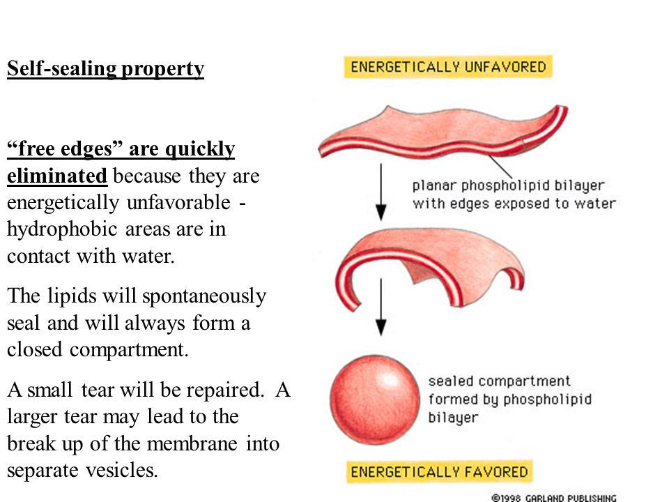Membranes include 1. sensors which enable the cell to respond to ...