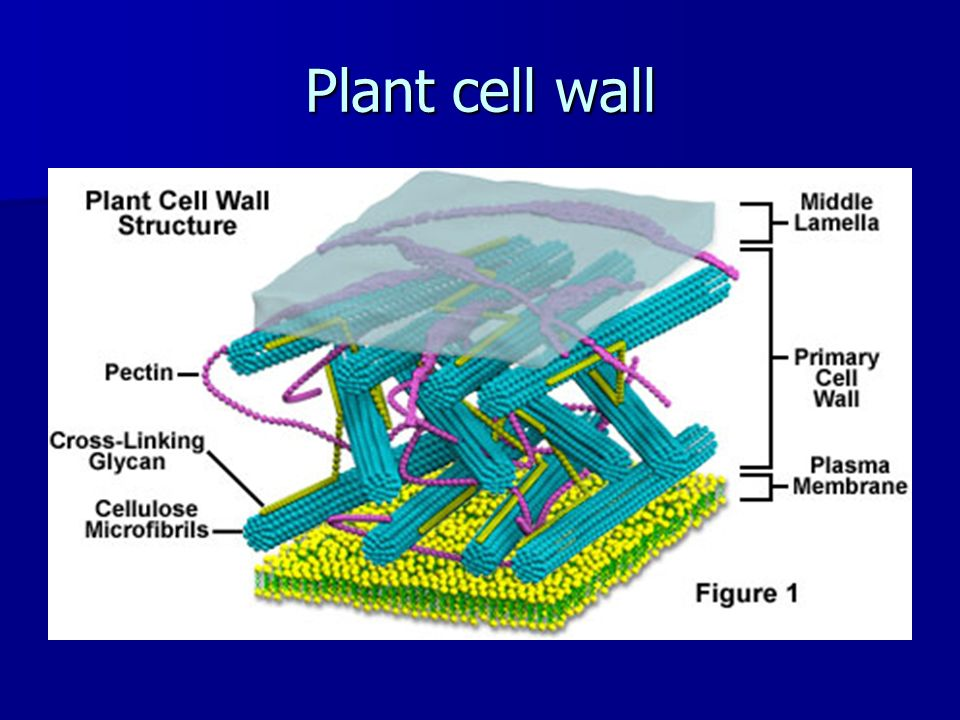 Learn About Plant Cell Types and Organelles  ThoughtCo