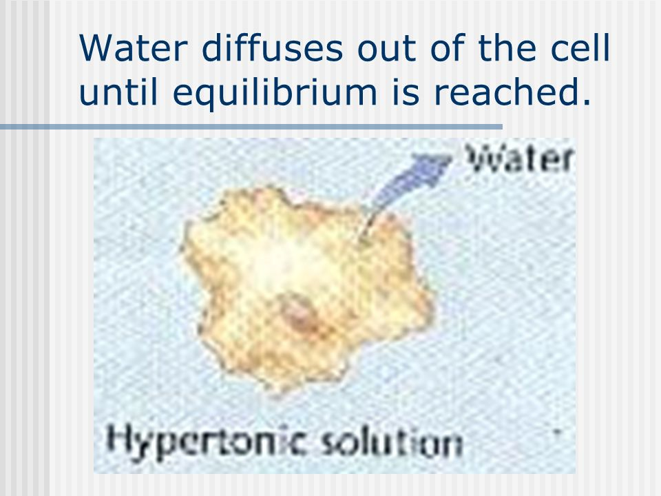 Water diffuses out of the cell until equilibrium is reached.