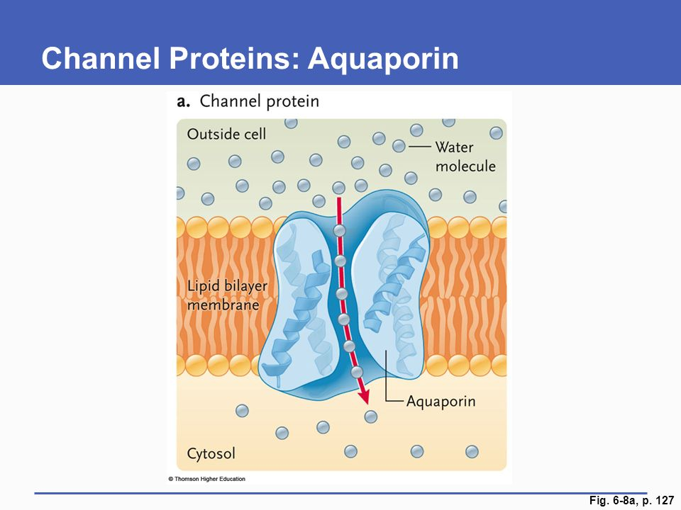Channel Proteins: Aquaporin Fig. 6-8a, p. 127