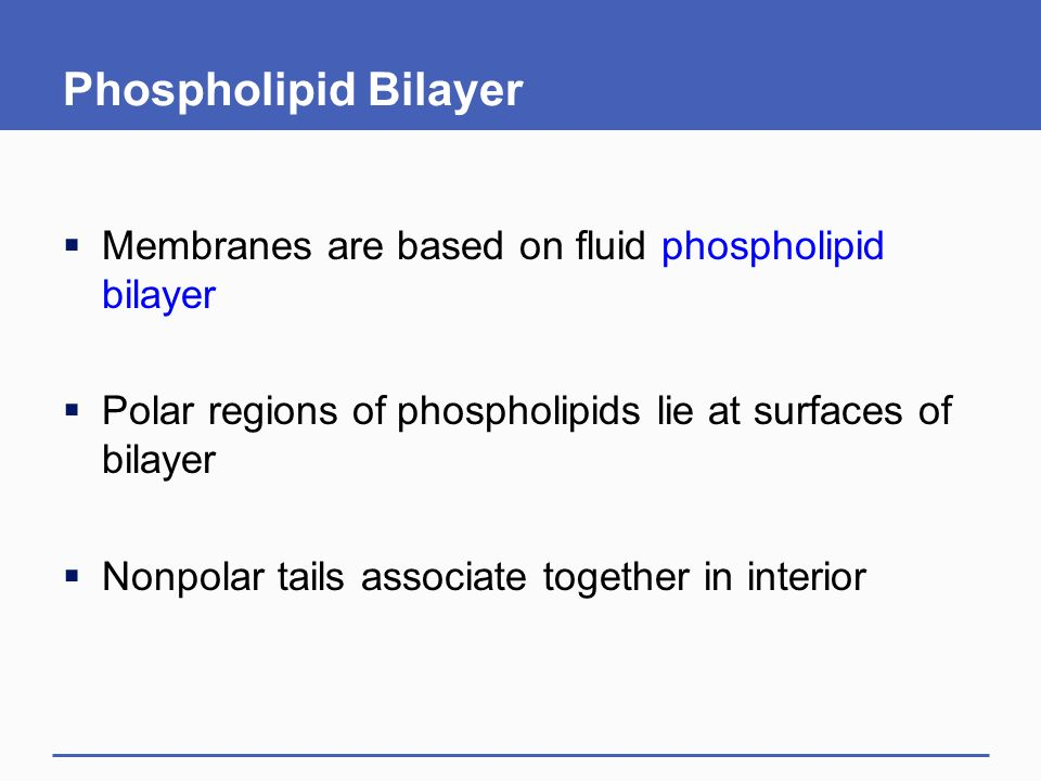 Phospholipid Bilayer  Membranes are based on fluid phospholipid bilayer  Polar regions of phospholipids lie at surfaces of bilayer  Nonpolar tails associate together in interior