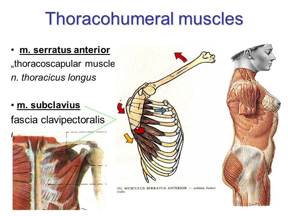 Thoracic fasciae fascia pectoralis –covering m.