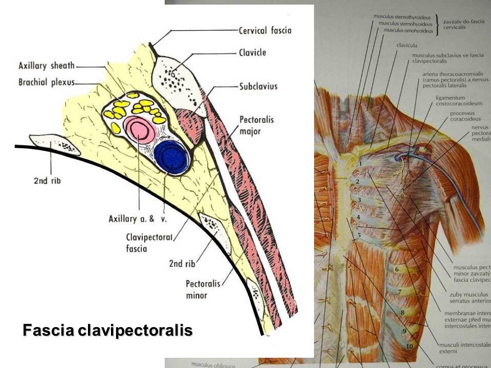 Diaphragma – inervation, shape septum transversum → descensus → n.