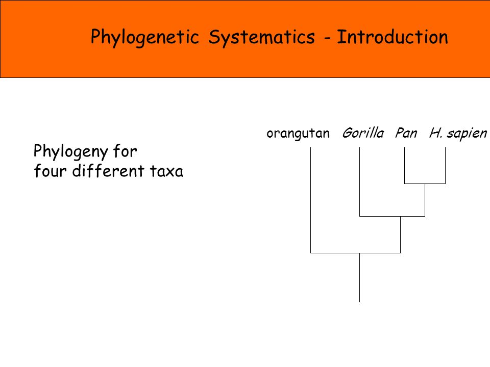 Phylogeny for four different taxa orangutan Gorilla Pan H.