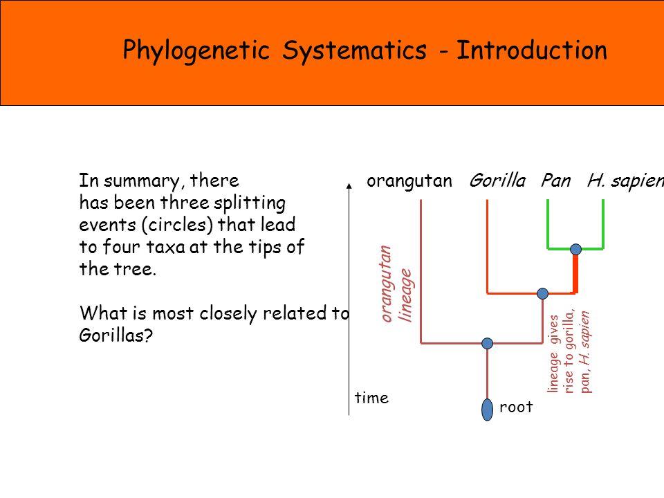 orangutan Gorilla Pan H. sapien root time orangutan lineage lineage gives rise to gorilla, pan, H.